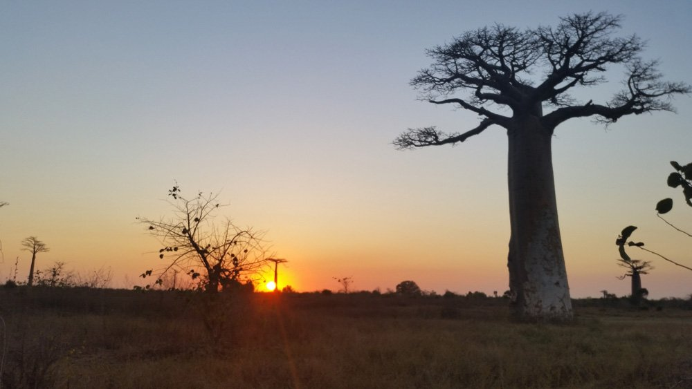 Big baobab with the sunset.