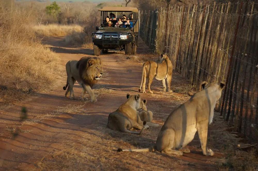 lion pride swaziland hlane national park