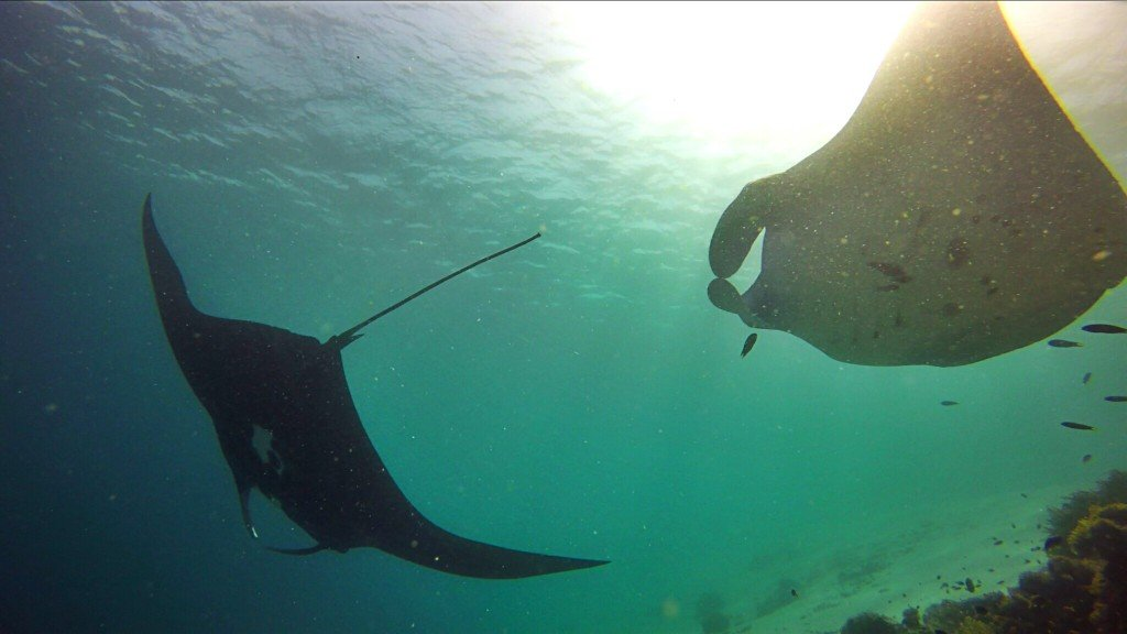 multiple mantas black morph komodo indonesia diving