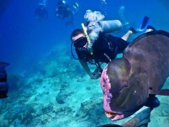 Bumphead parrotfish malaysia sipadan diving