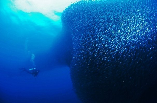 Sardines in moalboal