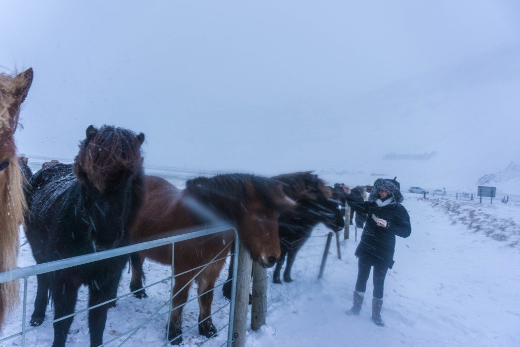 icelandic horses winter