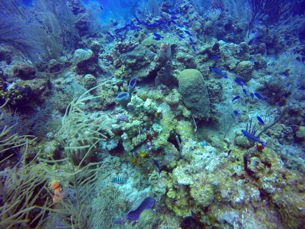 coral belize diving turneffe atoll caye caulker