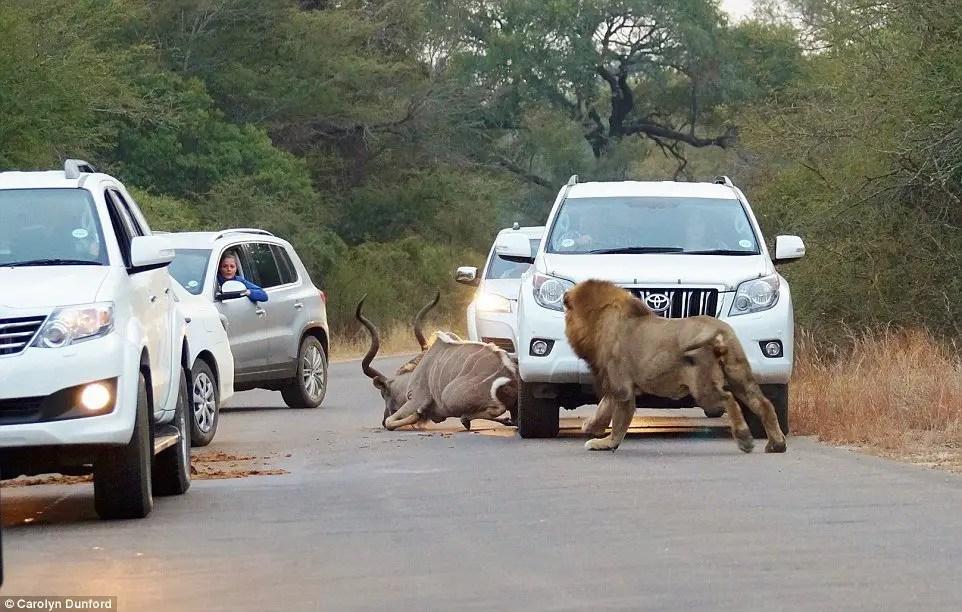 lion kudu kill in kruger national park