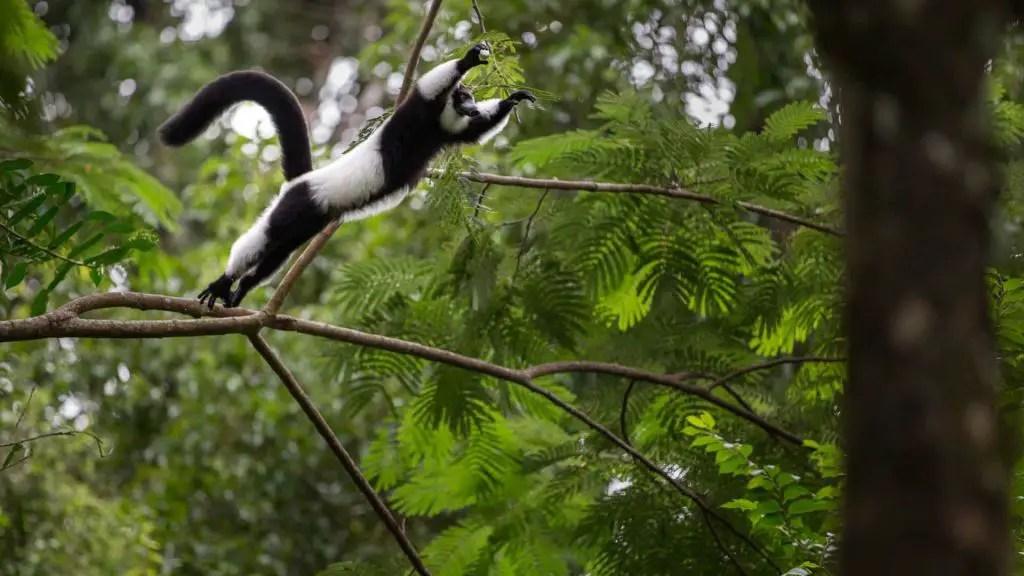 Ruffed Lemur jumping! So cool