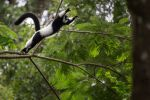 Ruffed Lemur jumping! So cool