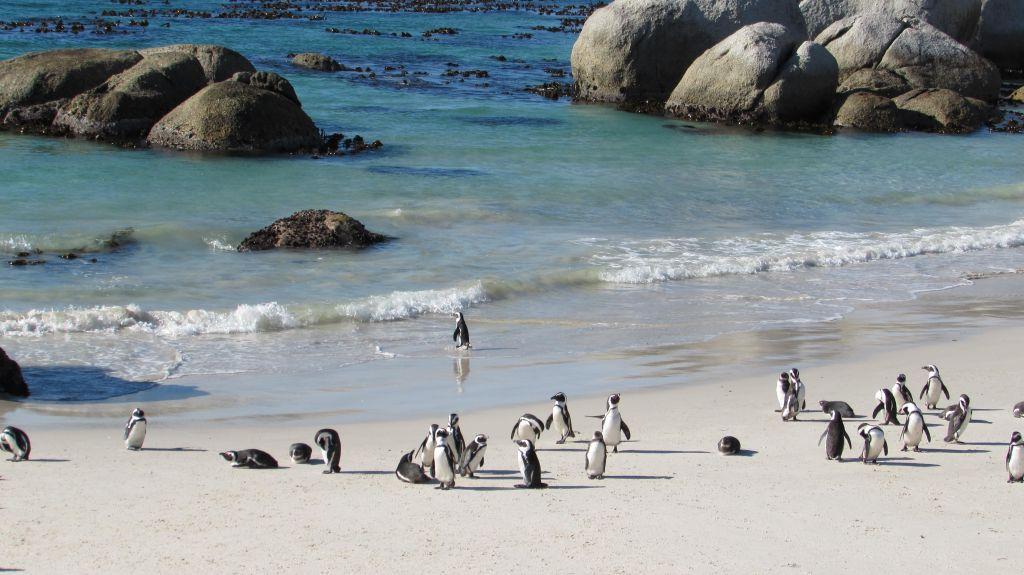 penguin boulder beach cape town