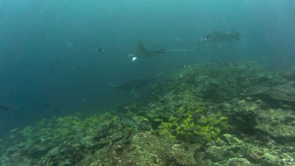 Manta ray scuba diving maldives liveboard carpe diem