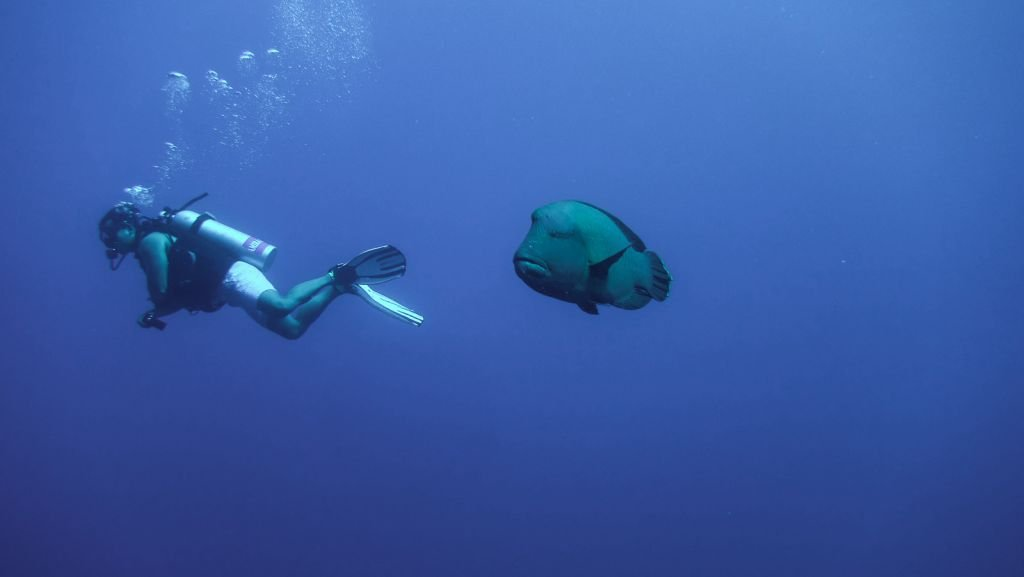Napoleon Wrasse getting close to me! daedalus