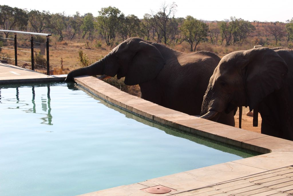 elephants drinking from pool in Mhondoro South Africa