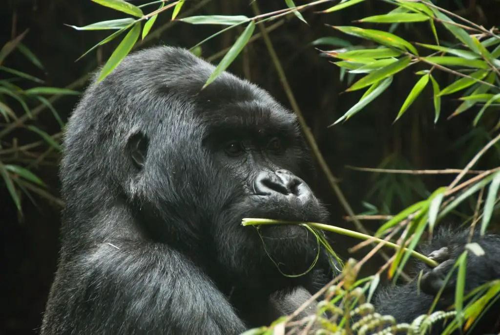 Rwanda Gorilla trekking silverback