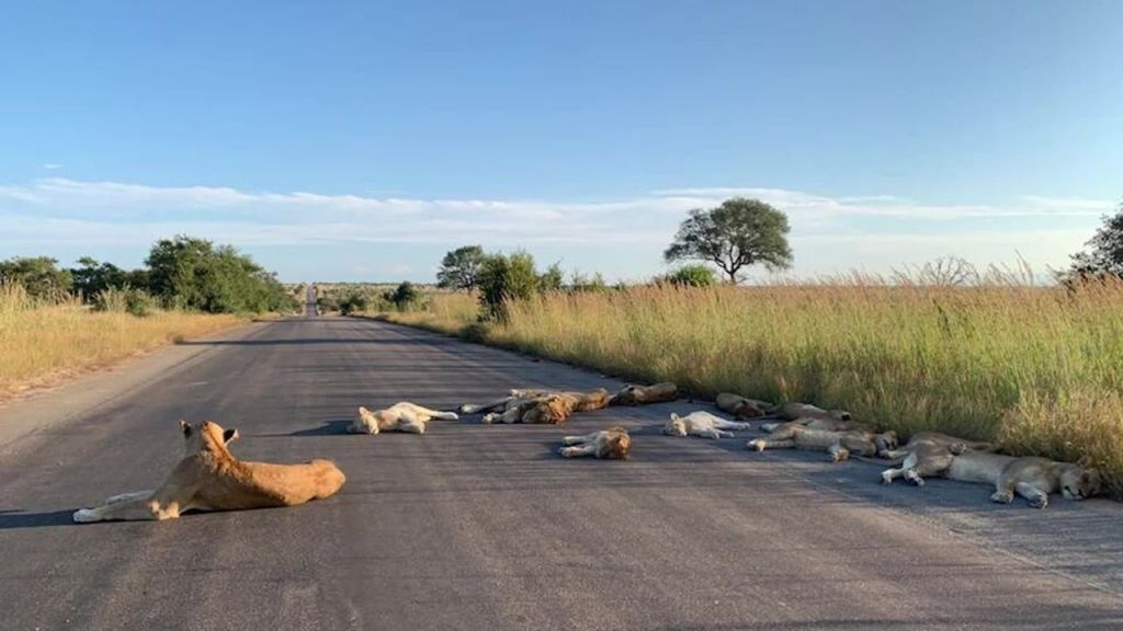 Lion's reclaiming the road in South Africa