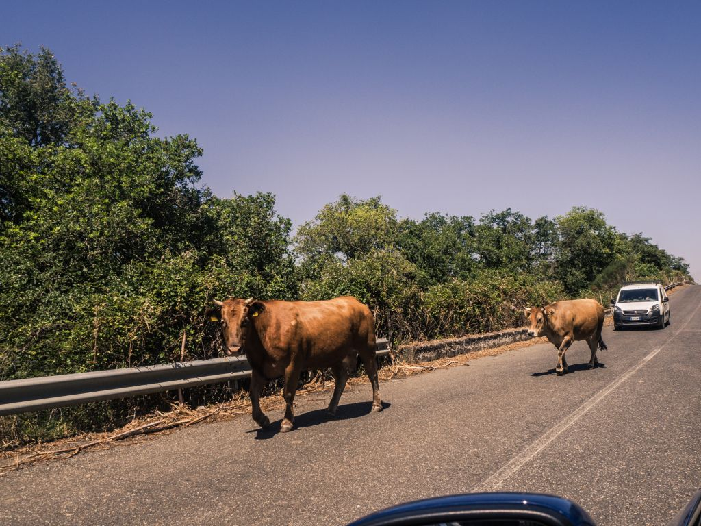 Sicilyi road cows