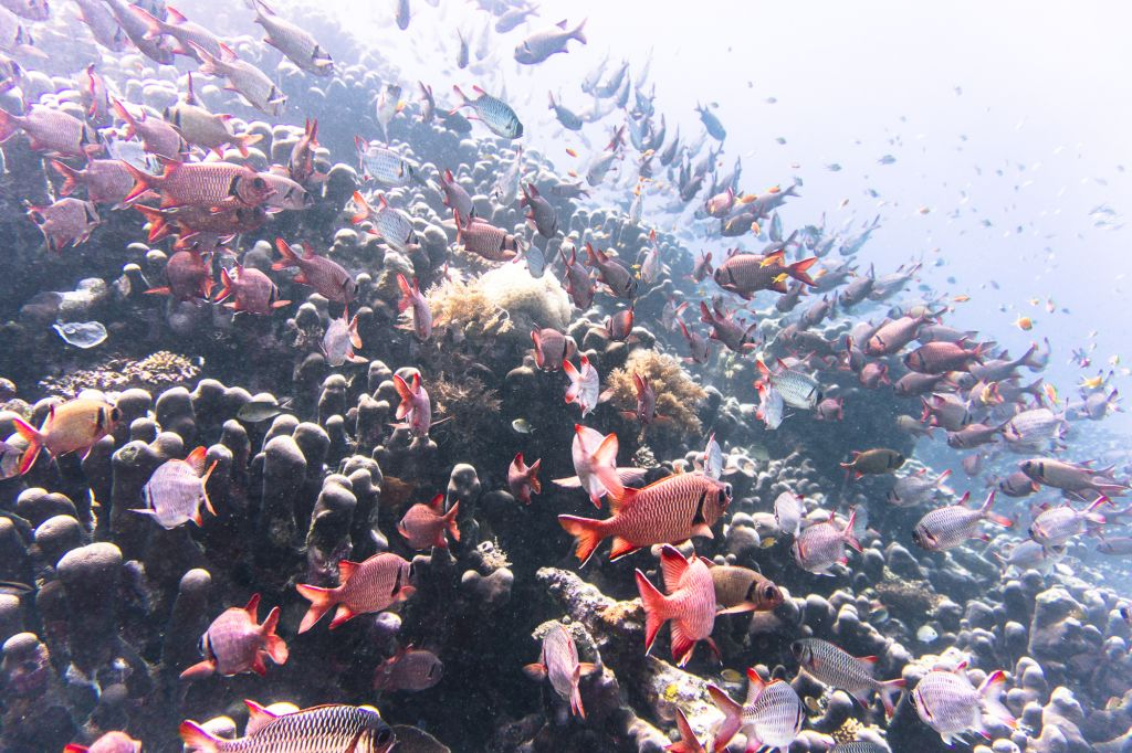 mafia island diving red snapper school