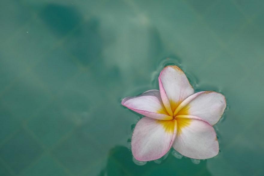 Frangipani in my swimming pool, Sri Lanka
