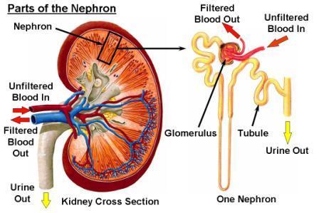 Regenerative Medicine For Kidneys Johnpatrick