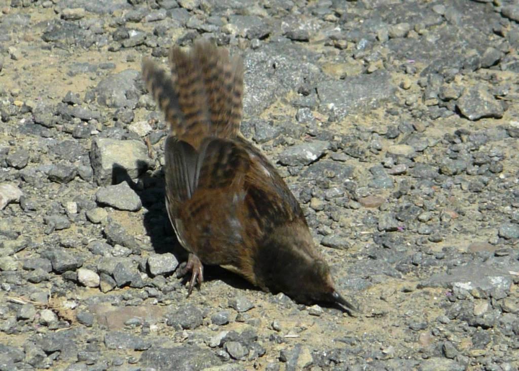 Marsh Wren25
