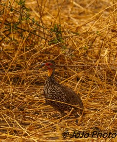 Yellow-Necked Spurfowl in Tarangire National Park
