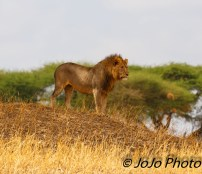 Male Lion in Tarangire National Park