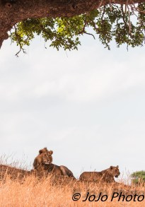 Lion couple in Tarangire National Park