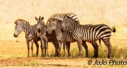 Zebra in Tarangire National Park. Fun Fact: a group of zebra is called a dazzle or a zeal