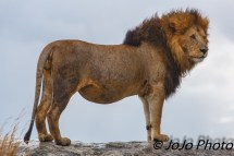 Lion at the Simba Kopjes in Serengeti National Park