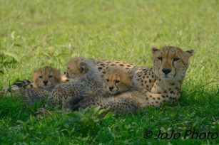 Cheetah with 3 cubs in Serengeti National Park
