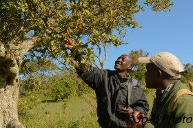 This grewia tree is multi-purpose in Maasai culture.