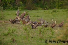 Ruppell's and White-backed Vultures on elephant carcass on night game drive