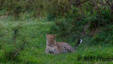 Leopard on night game drive outside Klein's Gate