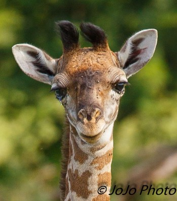 Giraffe Calf crying in Serengeti National Park