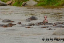 Hippos (a group can be bloat, raft, pool, or herd) in Serengeti Nat'l Park