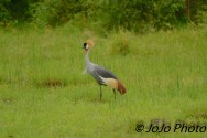 Grey Crowned Crane by the Mara River in Serengeti National Park