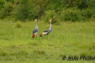 Grey Crowned Cranes by the Mara River in Serengeti National Park