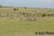Burchell's Zebra Zeal (or dazzle) in Serengeti National Park