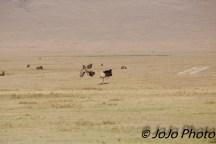 Masai Ostrich Hen fleeing from her suitor in Ngorongoro Crater