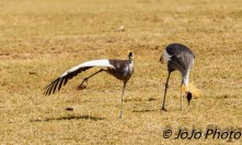 Grey Crowned Crane (one doing yoga!) in Ngorongoro Crater