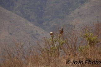 Tawny Eagles in Ngorongoro Crater