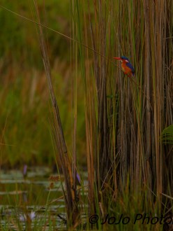 Malachite Kingfisher in Mabamba Swamp west of Entebbe, Uganda