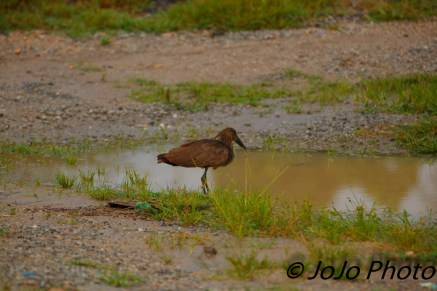 Hamerkop bird in Queen Elizabeth National Park
