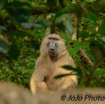 Olive Baboon in Kibale National Park