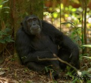 Chimpanzee (George Clooney) in Kibale National Park
