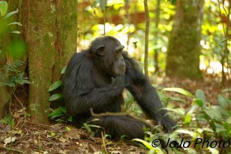 Chimpanzee pondering in Kibale National Park