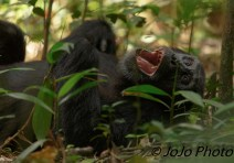 "Chimpanzee in Kibale National Park - ""Where's the dentist?"""