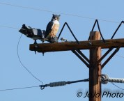 Plastic Owl on electric pole outside of Dubois, WY