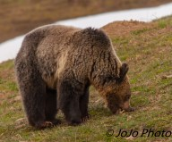 Grizzly scrunching his snout to get at the grass in Hayden Valley