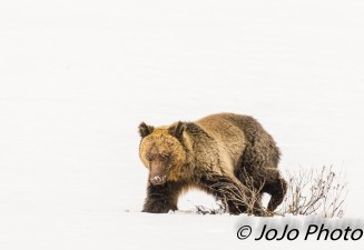 Grizzly at Hayden Valley