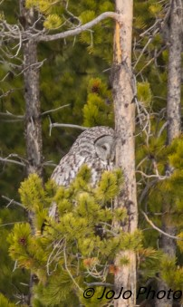 Great Gray Owl at Bridge Bay
