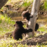 Rosie's two Rambunctious Cubs (maybe they're boys?)