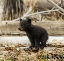 Rosie's Shy Cub near Calcite Springs